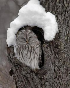 smiling owl in tree with snow