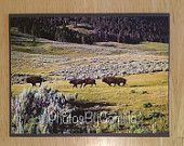 Buffalo's, Lamar Valley, Yellowstone National Park, Wyoming.