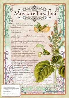 Muskatellersalbei www. Herbal Plants, Medicinal Plants, Plant Illustration, Botanical Illustration, Herbs For Health, Healing Herbs, Types Of Flowers, Green Life, Fantastic Art