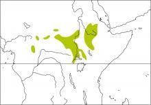 Foxy Cisticola (Cisticola troglodytes)