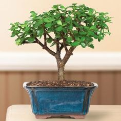 Dwarf Jade Bonsai Tree