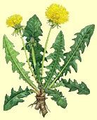 Benefits of dandelion - wellness, better digestion, sleep and even pain relief. Dandelion nourishes the liver, digestive and many other systems essential for your health