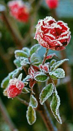 The last roses, now frozen.
