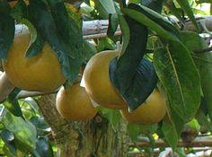 """Il Nashi  e' una pianta originaria della Cina centrale (dove viene chiamato """"li""""; il termine """"nashi"""" è invece giapponese e significa """"pera""""), diffusa anche in Giappone, Corea del Sud, Stati Uniti, Nuova Zelanda e Australia."""