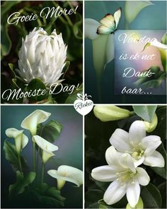 Goeie More, Afrikaans Quotes, Out Of Africa, Good Morning Wishes, Messages, Rose, Flowers, Plants, Butterfly