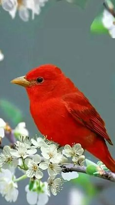 Summer Tanager Life History, All About Birds, Cornell Lab of Ornithology Pretty Birds, Love Birds, Beautiful Birds, Animals Beautiful, Simply Beautiful, Small Birds, Colorful Birds, Little Birds, Kinds Of Birds