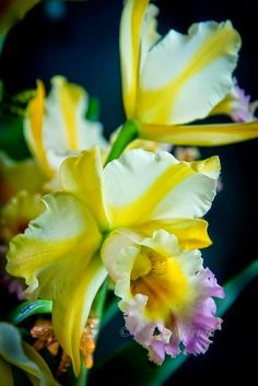 E;Hawaiian Orchids