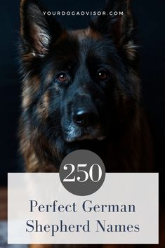 250 Perfect German Shepherd Names. German Shepherd Names Female, German Dog Names, Baby German Shepherds, German Sheperd Dogs, German Shepherd Facts, German Shepherd Training, German Shepherd Breeds, German Dogs, Shepherd Dogs