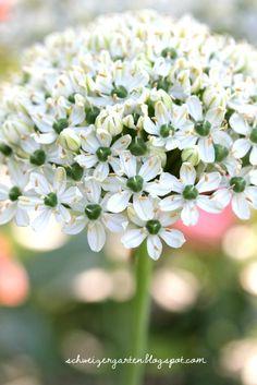 Weissblühender Zierlauch - 'Allium nigrum'