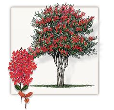 Crepe Myrtle | Mature Height: 10' - 25' Feet Tall | Growth Rate: 1' Per Year | Colors Available: White, Red, Pink, lavender #trees #landscaping #gardening