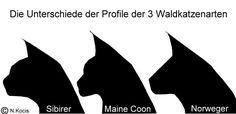 Unterschied Maine Coon / Norwegische Waldkatze