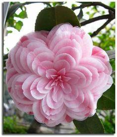 Very Beautiful Flowers, Unusual Flowers, Real Flowers, Amazing Flowers, Colorful Flowers, Pink Flowers, Unusual Plants, Rainbow Roses, Blooming Flowers