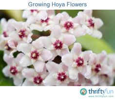 This is a guide about growing hoya flowers. These vining indoor plants make ball shaped clusters of flowers reminiscent of mophead hydrangeas.