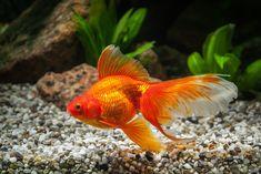 An SRJC student found a dozen goldfish in a fire-scorched tub, living off ash after recent fires. Goldfish Types, Pet Goldfish, Goldfish Tank, Freshwater Aquarium, Aquarium Fish, Chameleon Pet, Outdoor Ponds, Golden Fish, Pisces