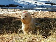 Holly, Tibetan terrier