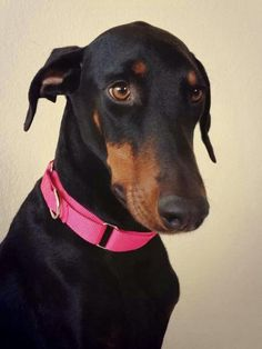 Doberman - I love the way they look when they don't have their ears cropped! #dobermanpinscher