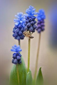 Grape hyacinths with bee