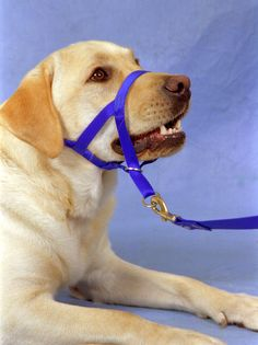 The Head Collar or Halti can stop a dog pulling Choosing A Dog, Dog Language, Dogs 101, Training Your Dog, Dog Accessories, Dog Toys, Pitbulls, Puppies, Horses