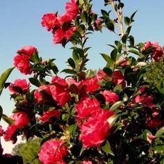 October Magic® Rose Sasanqua Camellia