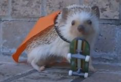 Rescued hedgehog with cape and skateboard is almost too cute to believe #hedgehog