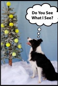 Border Collie Christmas Tree Greeting Cards, for dog people who love flyable or have a dog that loves tennis balls Border Collie Humor, Collie Dog, Christmas Dog, Christmas Humor, Christmas Cards, Merry Christmas, Funny Dogs, Cute Dogs, English Shepherd