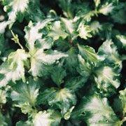 Hedera helix 'Green Ripple' (Ivy 'Green Ripple')