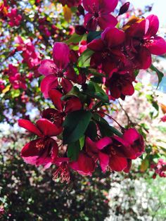 Red Crabapple Tree Blooms