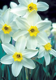 "QUEEN OF THE NORTH, 1908 With her elegant, snow-white petals and fluted lemon cup, this 'Queen' is as cool as a frosty glass of lemonade. ""Certainly one of the most beautiful of all daffodils,"""