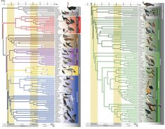 Dibujo20151012 Phylogeny of birds - nature com