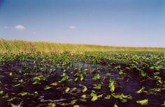 The Shrinking Everglades | Ian Somerhalder Foundation #ISFKids #ISF #Everglades #IanSomerhalderFoundation