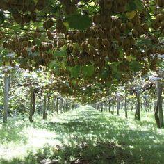 zespri kiwifruit orchard canopy