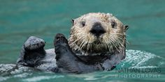 Sea Otter Diving Related Keywords & Suggestions - Sea Otter Diving ...