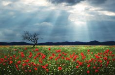 Poppies by Bess™  on 500px