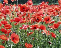 have beautiful poppies growing all over my ugly septic mound next year!!!