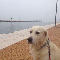 Aspettando il traghetto di porto Garibaldi #goldenretriever