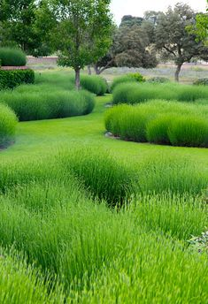 Jardín Salamanca,  lavender garden before it blooms, green textures, by Estudio Paisajismo