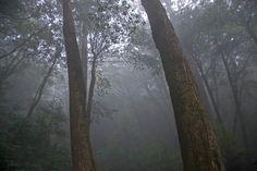 Cedar trees in the mist - Yakushima, Japan