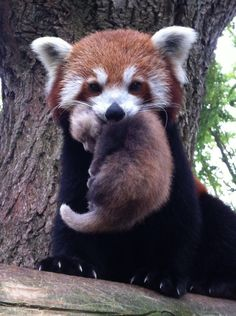 Reluctant Red Panda Gets the Perfect Name