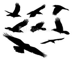Eight black crows ravens flying above with an isolated white background for clip art.