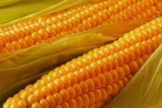 Cómo sembrar semillas de maíz