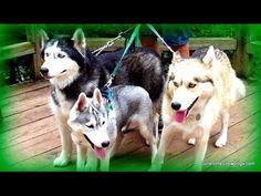 Siberian Husky YouTube Rewind 2013  Top 10 Countdown