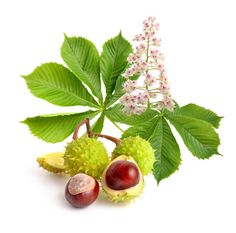 Horse Chestnut Extract: vein walls, increases elasticity, and decreases permeability (leakage). edema -- swelling caused by accumulation of fluid in the veins. Home Remedies, Natural Remedies, Conkers, Chestnut Horse, Lighten Skin, Medicinal Herbs, Homeopathy, Horticulture, Trauma