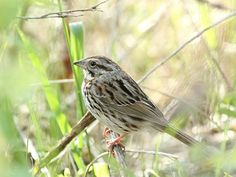 Pam Bloomfield-Hawkes May 30  Savannah sparrow not hiding very well!