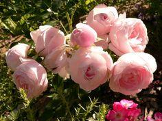 'Hans Gönewein Rose' Rose Photo  (Tantau)