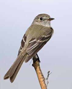 Willow flycatcher (Empidonax traillii)   Audubon Field Guide