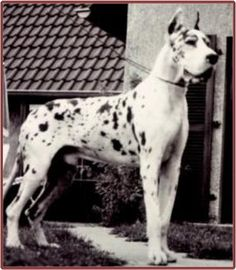 Eick Imperial, harl, born 1966. Eick Imperial is probably one of the greatest Great Danes bred in Germany; his background is an impressive blend of the very finest lines that Germany ever produced (both fawn and harlequin). Ch. Bundes Sieger'69/70/71, Ch. Swiss Sieger '69/70, Luxenburg Sieger '69/70; Swiss, German, International Champion)