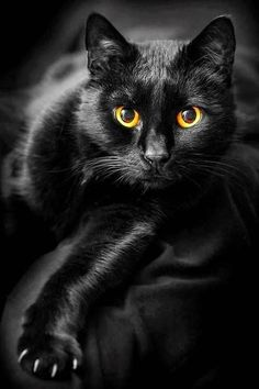 Black Kitties - October 2015 Did you know that today is National Black cat Day in the US?Did you know that today is National Black cat Day in the US? Pretty Cats, Beautiful Cats, Gorgeous Eyes, Amazing Eyes, Beautiful Things, Crazy Cat Lady, Crazy Cats, I Love Cats, Cool Cats
