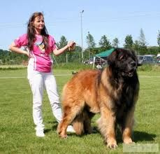 leonberger full grown next to adult