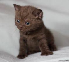Котёнок британской породы шоколадного окраса