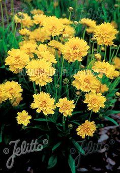 COREOPSIS grandiflora  'Early Sunrise' Portion(s)